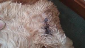 black spot on dog's ear