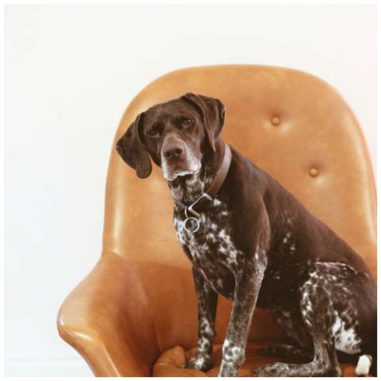 Canine cognitive dysfunction in dogs