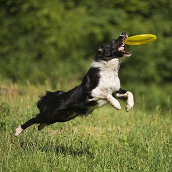 Teach Your Dog To Catch A Frisbee/Disc