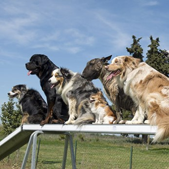 Different dogs lined up in agility class on an dogwalk.