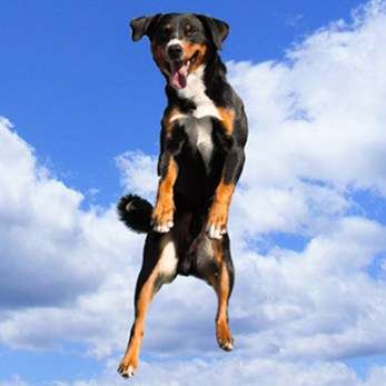 Dog jumps up in the air.