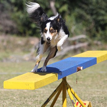 Border Collie runs over seesaw (teeter) on an agility course.