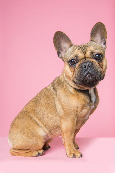 one year old fawn french bulldog