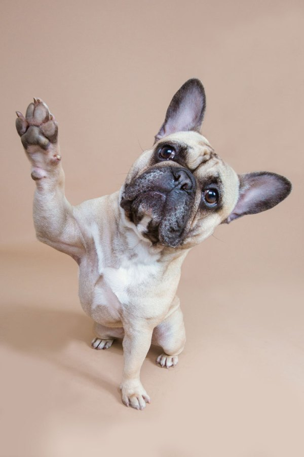 french bulldog giving the paw