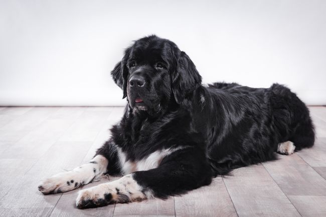 Docile Dogs: The Most Mellow Breeds