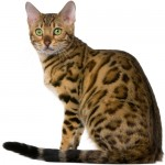 abyssinian-cat