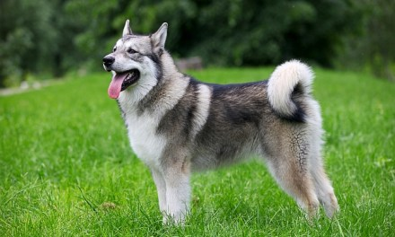 Differences between Alaskan Malamute, Siberian Husky & Alaskan Husky