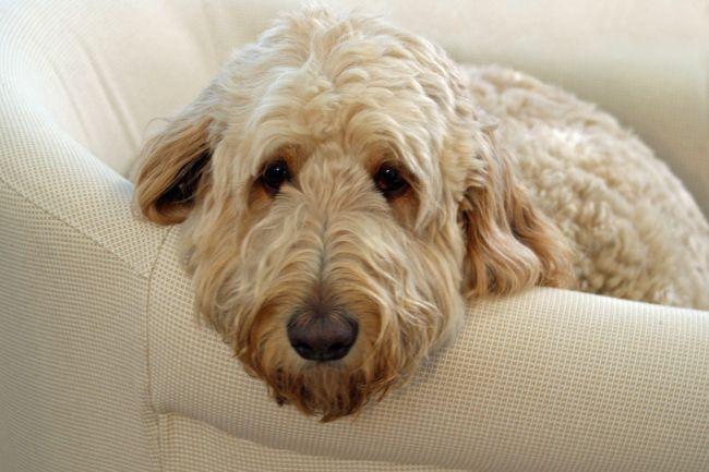Goldendoodle (mix between Golden Retriever & a Poodle)