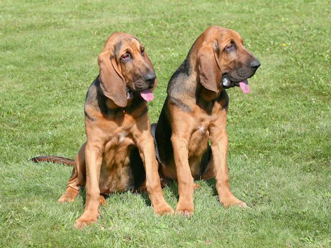 Bloodhound dogs