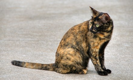 Falling in Love with Tortoiseshell Cats