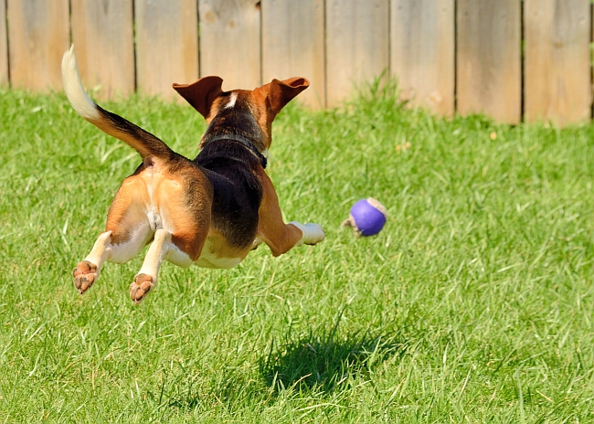 beagle chasing ball
