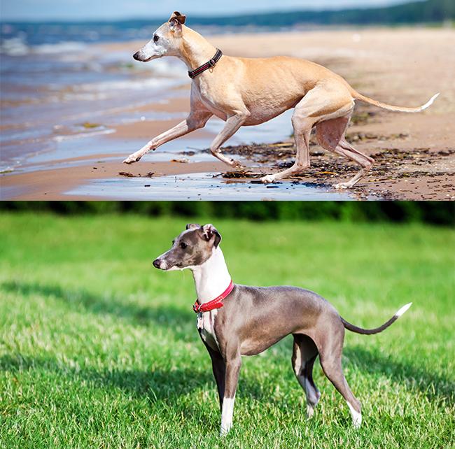 Whippet (top) & Italian Grayhound (bottom)
