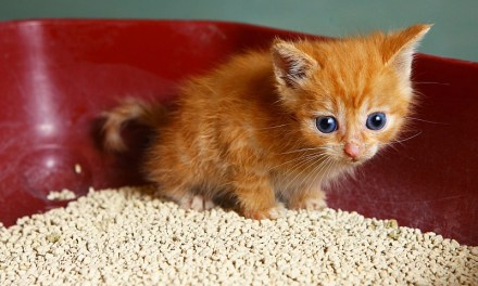How to Stop a Kitten from Eating Cat Litter?