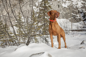vizsla outdoors standing in snow