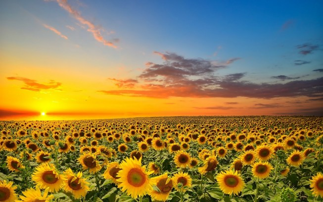 sunset-over-sunflowers-field