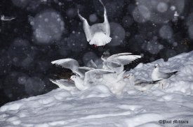 gulls-in-the-snow