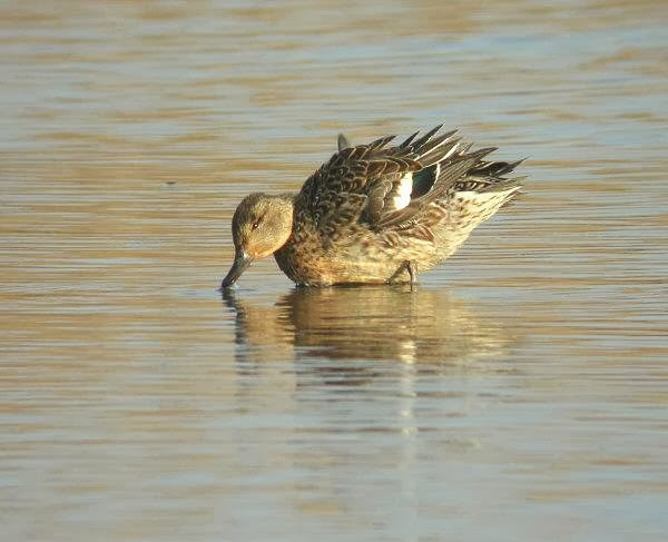 A gadwall in the water