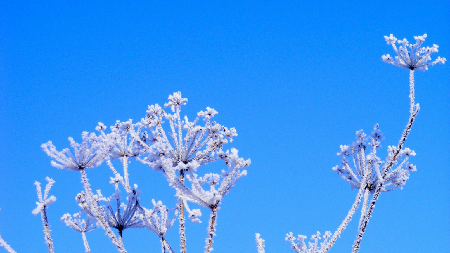 Frost on plants against a bright blue sky