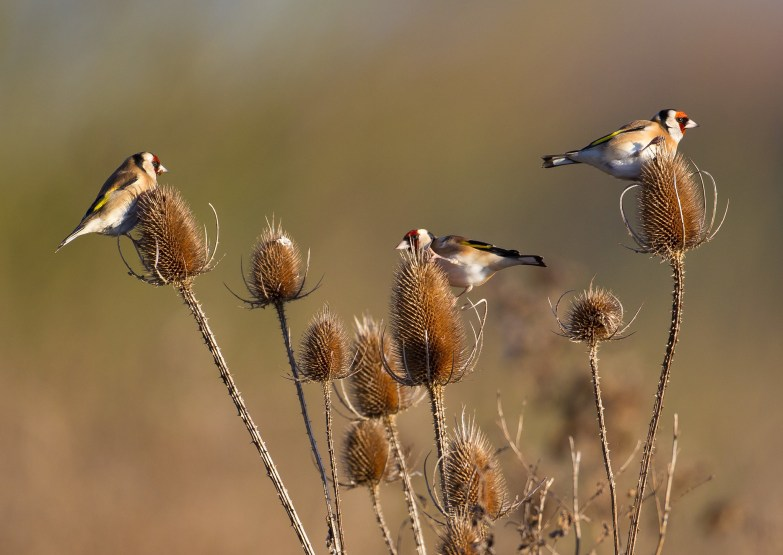 A charm of goldfinches on teasels