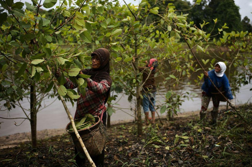 workers harvesting kratom