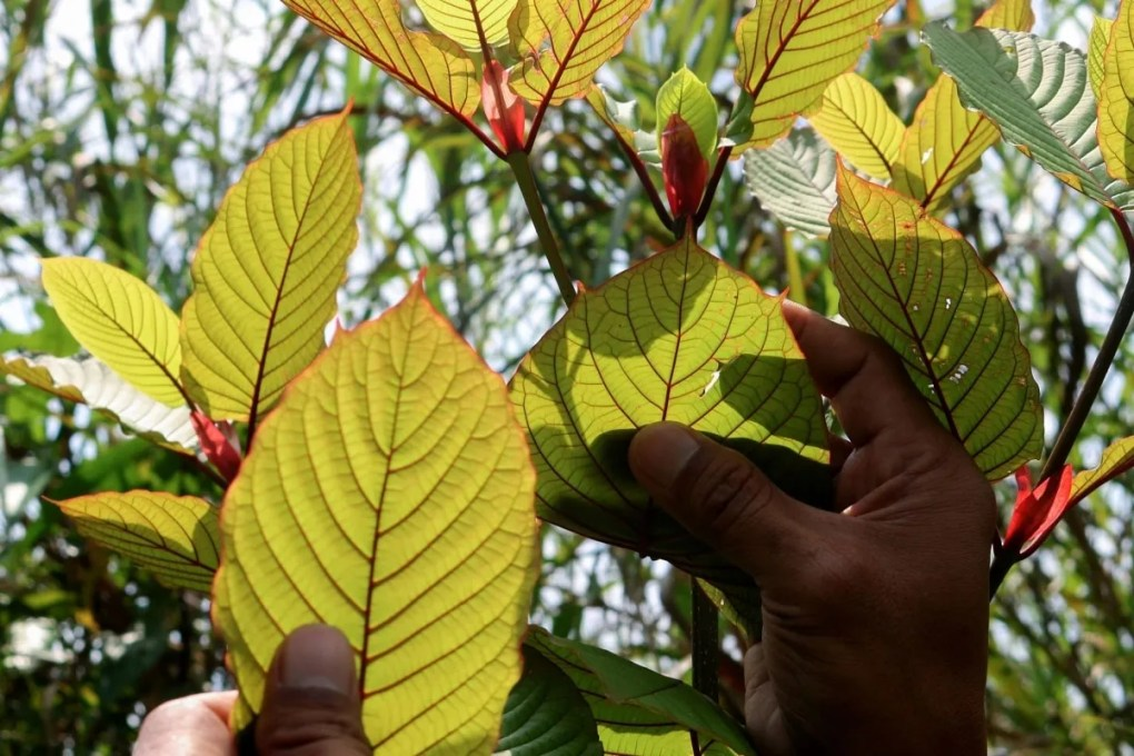 kratom tree red vein paylesskratom