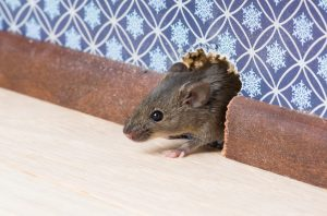 Common house mouse looks out from a hole in the wall