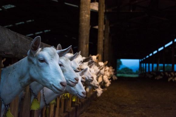 Après la traite du matin, les chèvres reviennent dans leur enclos et attendent que Patrick leur apporte de l'herbe fraîche !  - En savoir plus : http://paysansdavenir.com/le-coin-des-innovations-chevres-au-vert/