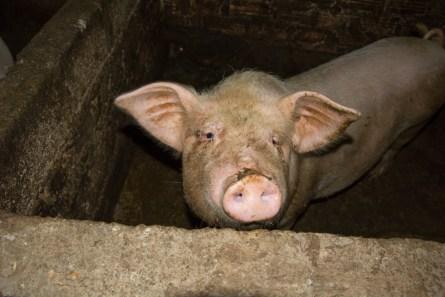 Un des cochons de NGUYEN THI LÊ http://paysansdavenir.com/portrait-dagricultrice-la-vie-compliquee-de-nguyen-thi-le/