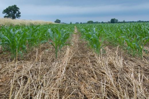 Un champs de Maïs : nous voyons encore la paille du couvert végétal
