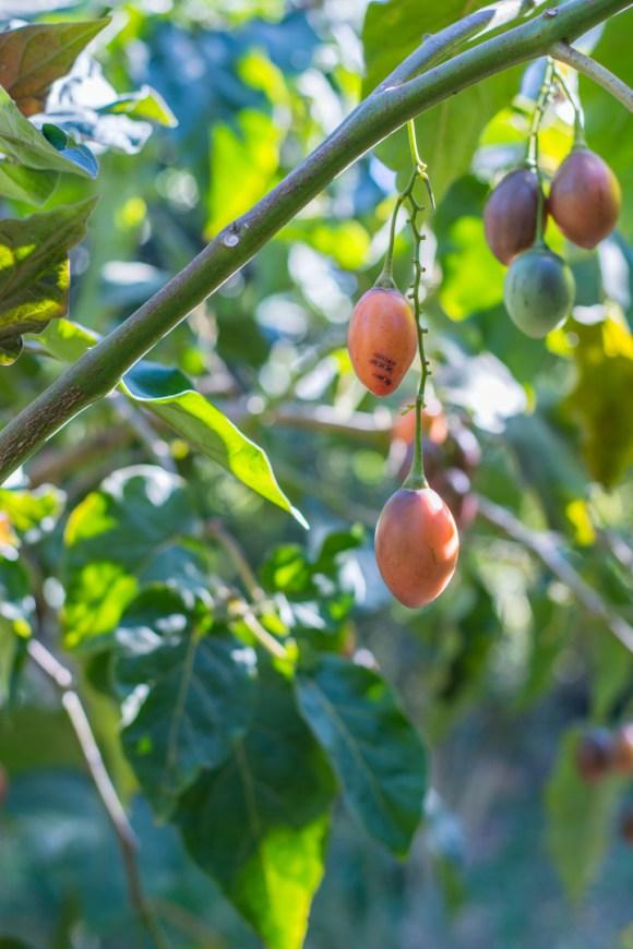 Agroforesterie à Cochabamba - Arbre à tomates