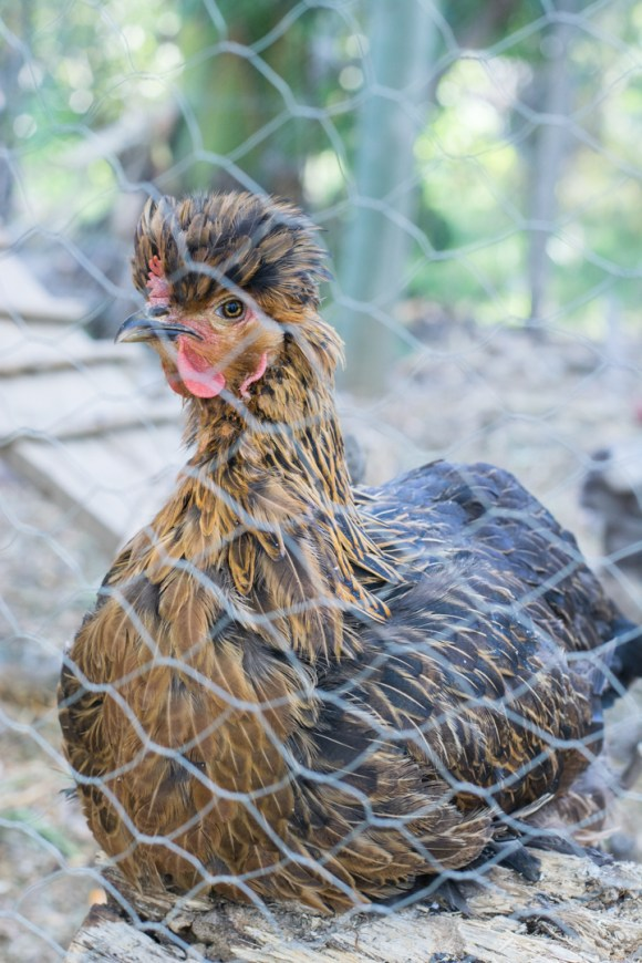 Agroforesterie à Cochabamba - une poule locale