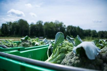 Little Seed Gardens, maraîchage et vente de paniers de légumes