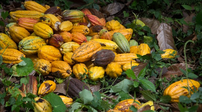Cacao is sowing life