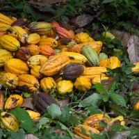Cacao para sembrar vida