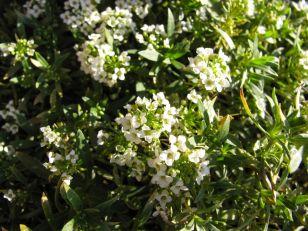Lobularia hybrid 'Snow Princess'(Sweet Alyssum)