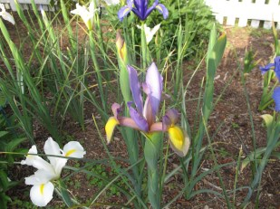 Dutch Iris mix (Planted Fall 2015)