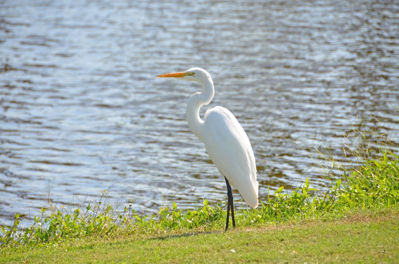 American Egret (Great Egret)