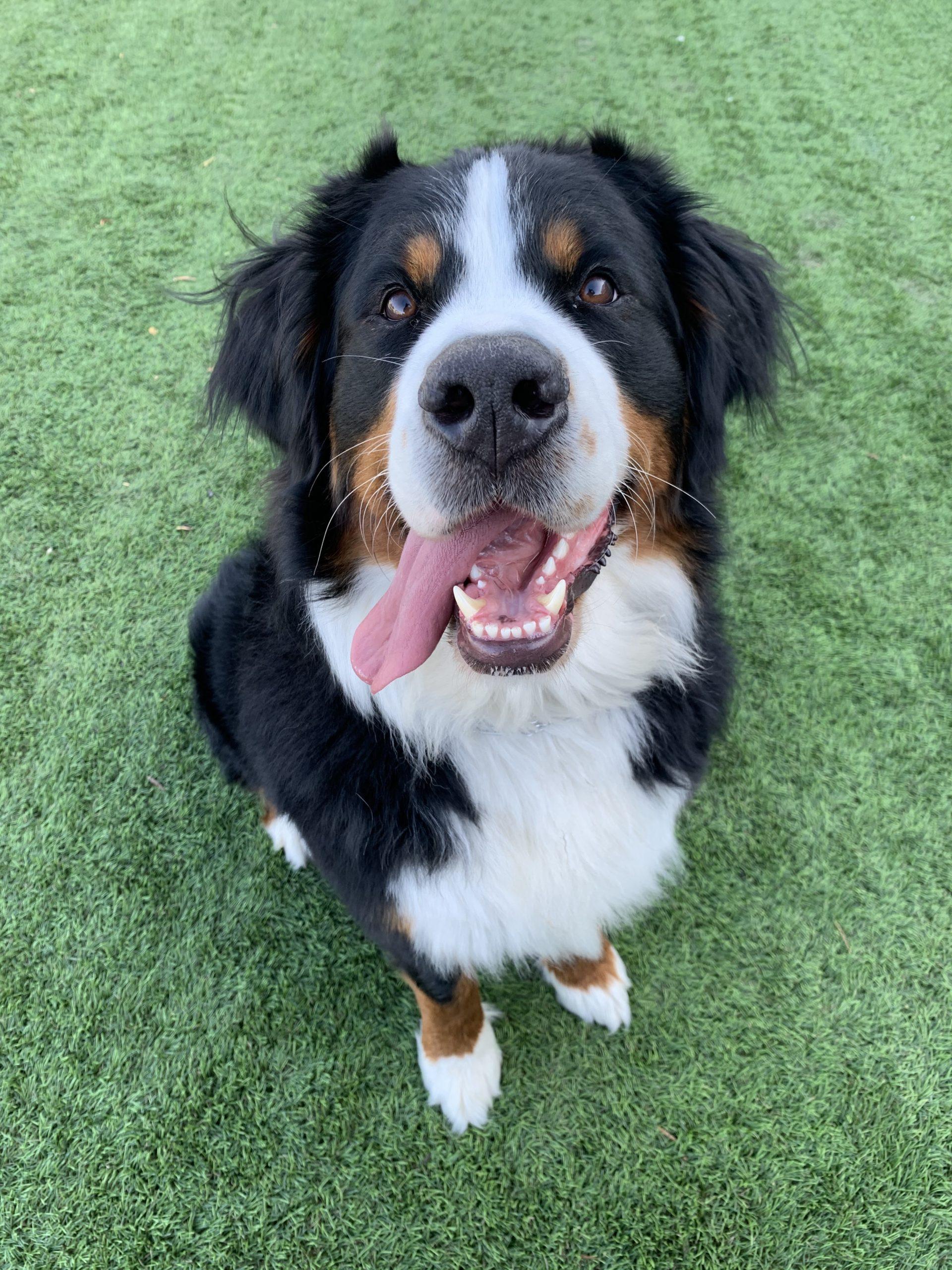 Bernese-Mountain-Dog-Lola-Smile