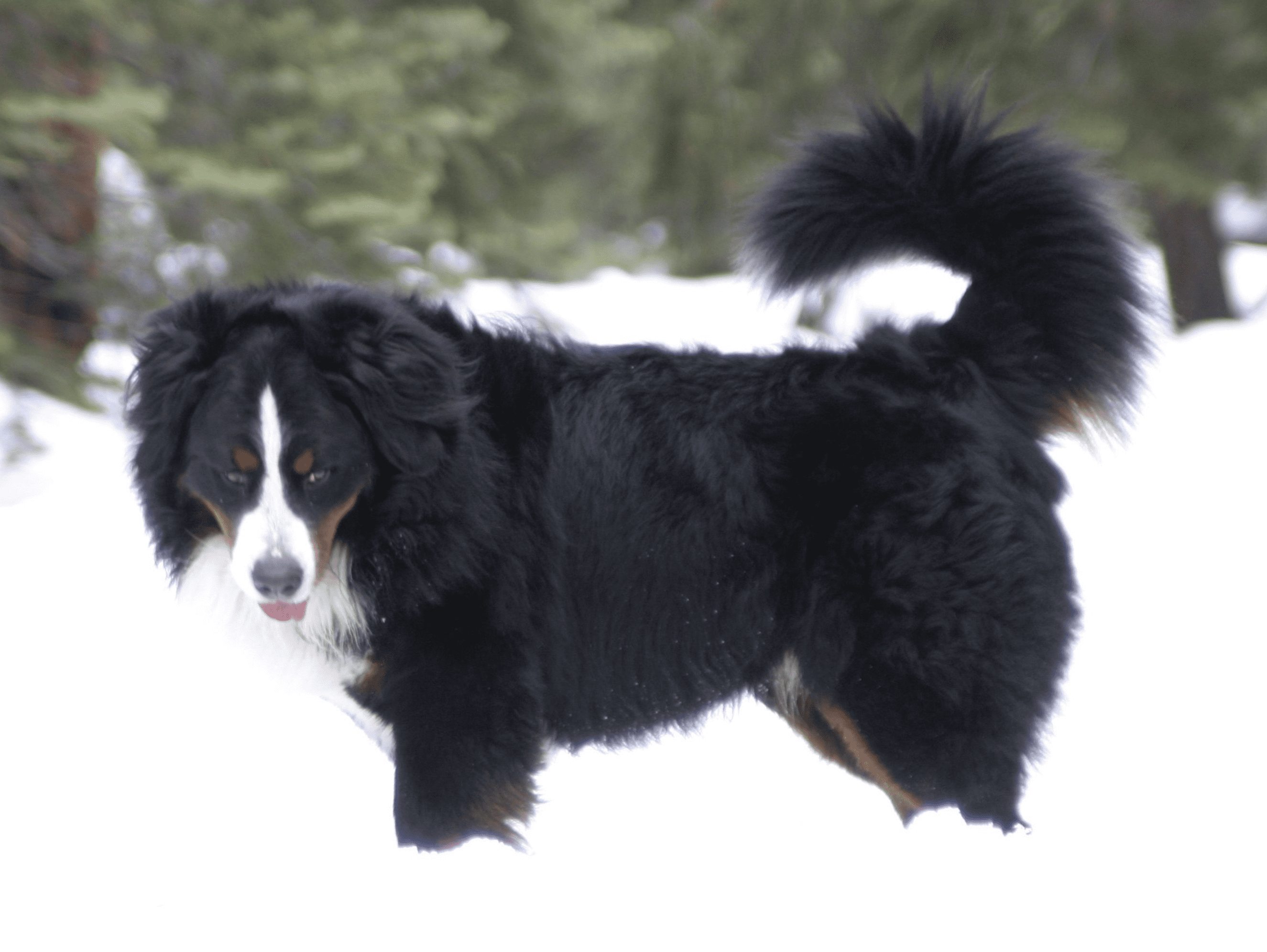 Milo-the-Berner-side-profile-the-snow-at-Tahoe
