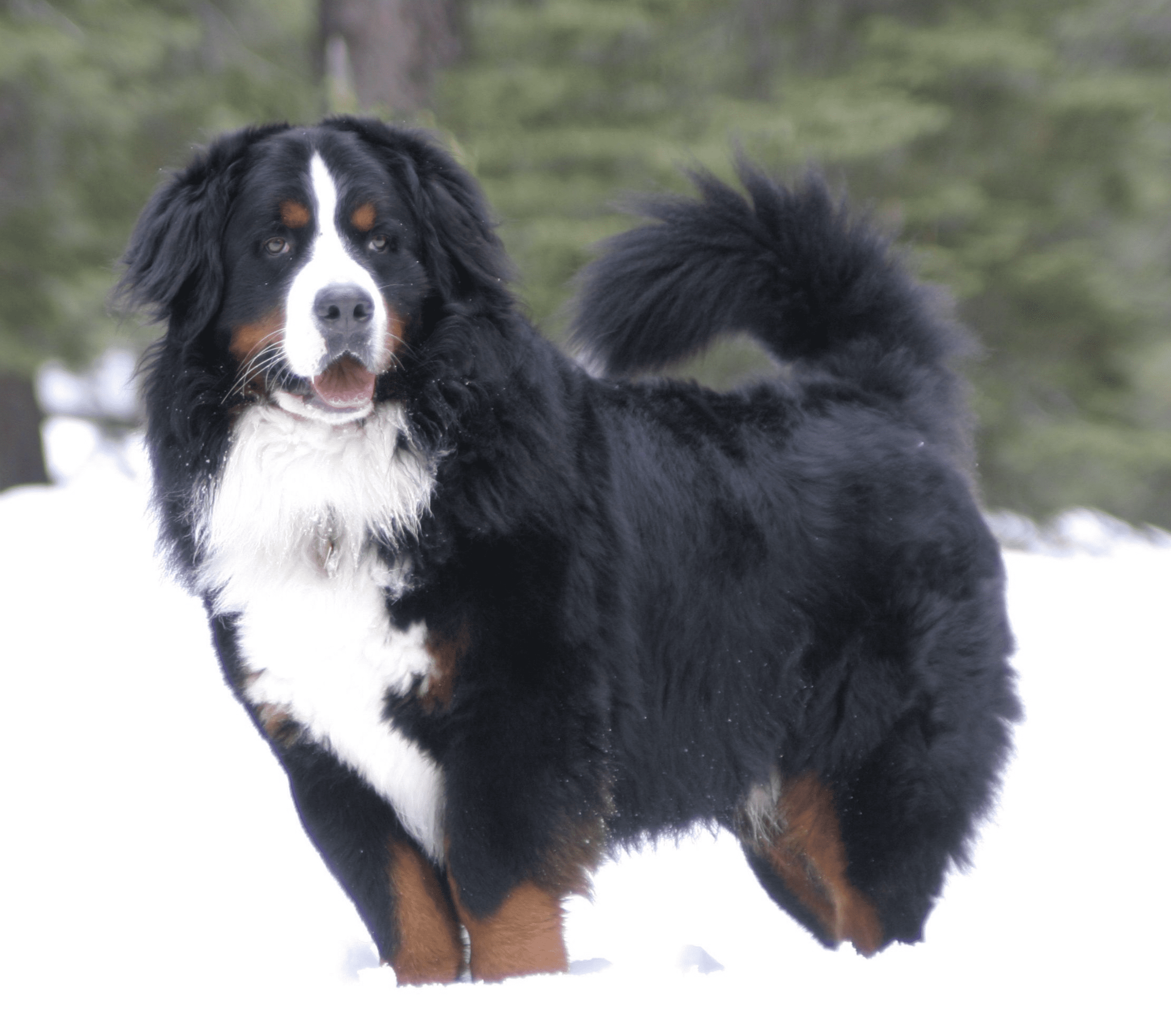 Milo-the-Berner-posing-in-the-snow-at-Tahoe