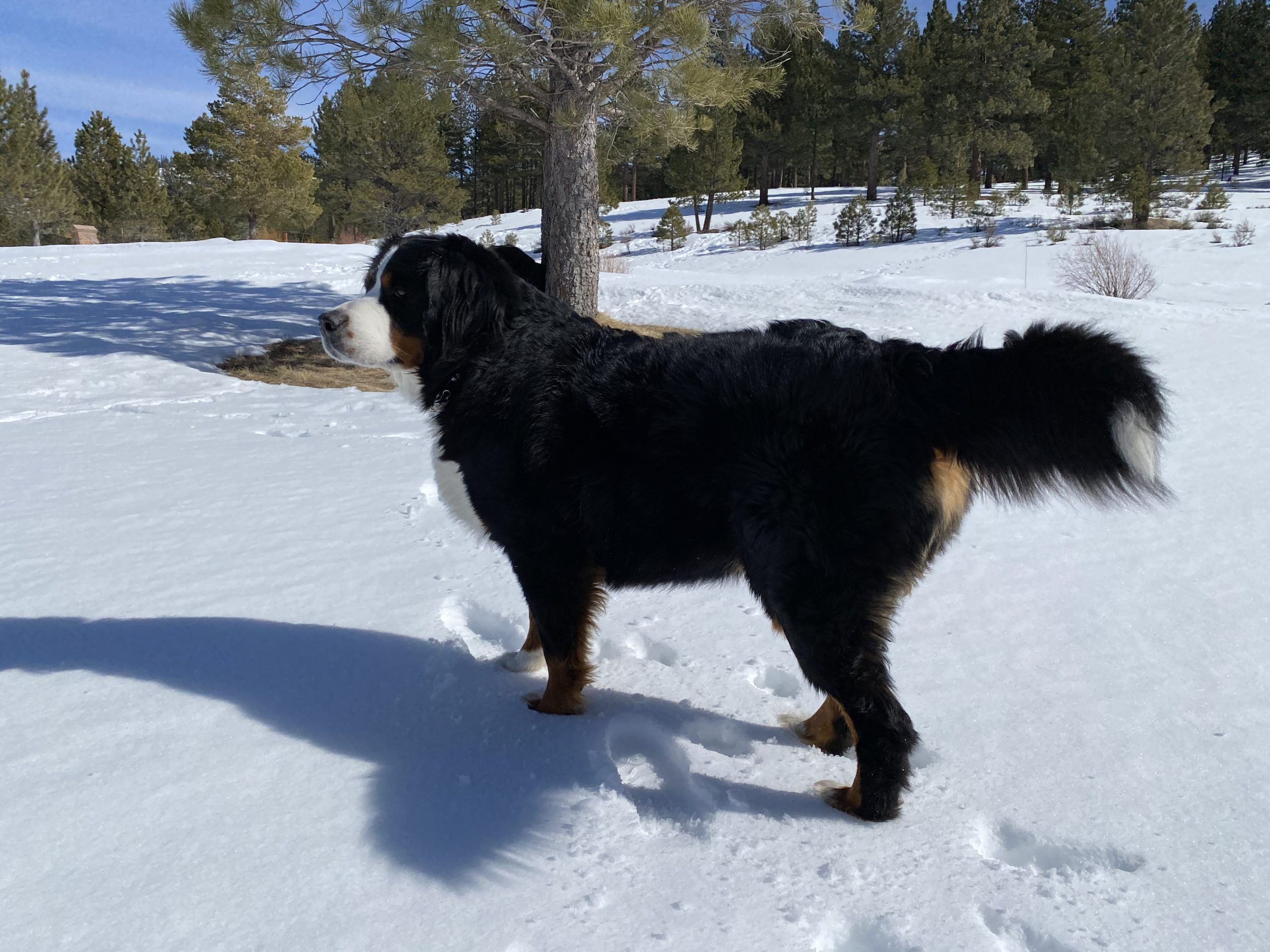 Lola-the-berner-int-the-snow-at-Northstar