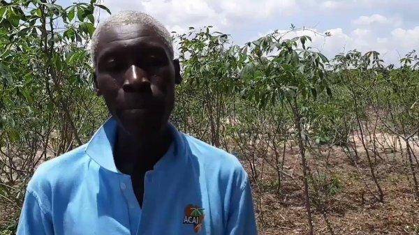 cassava cgiar - 1200×675