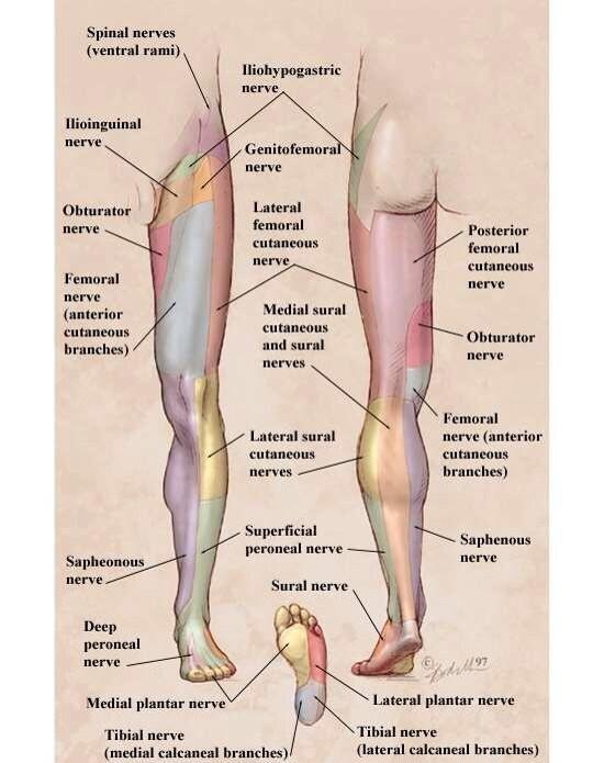 Lower Extremity Sensory Nerve Distribution