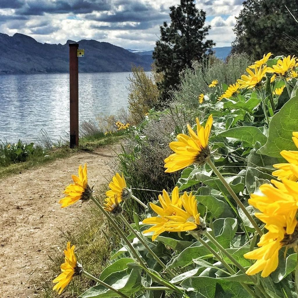 test Twitter Media - Arrowleaf Balsamroot Flowers (in Kalamoir Regional Park). #visitwestside #explorebc #springflowers #springtime https://t.co/Eu4q0LNAOu https://t.co/zprLyuqq8J