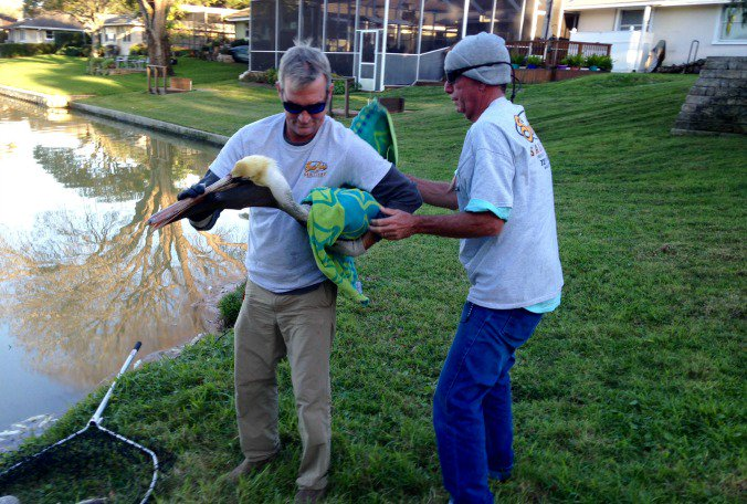 Massive fish kill in St. Pete neighborhood causes dozens of pelicans to fall ill or die.
