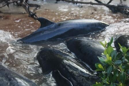 NOAA responding to 95 killer whales stranded off southern Florida coast.
