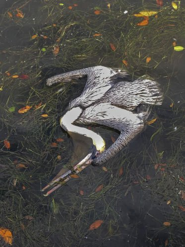 A St. Petersburg mystery: Why are pelicans dying at Riviera Bay and Coffee Pot Bayou?