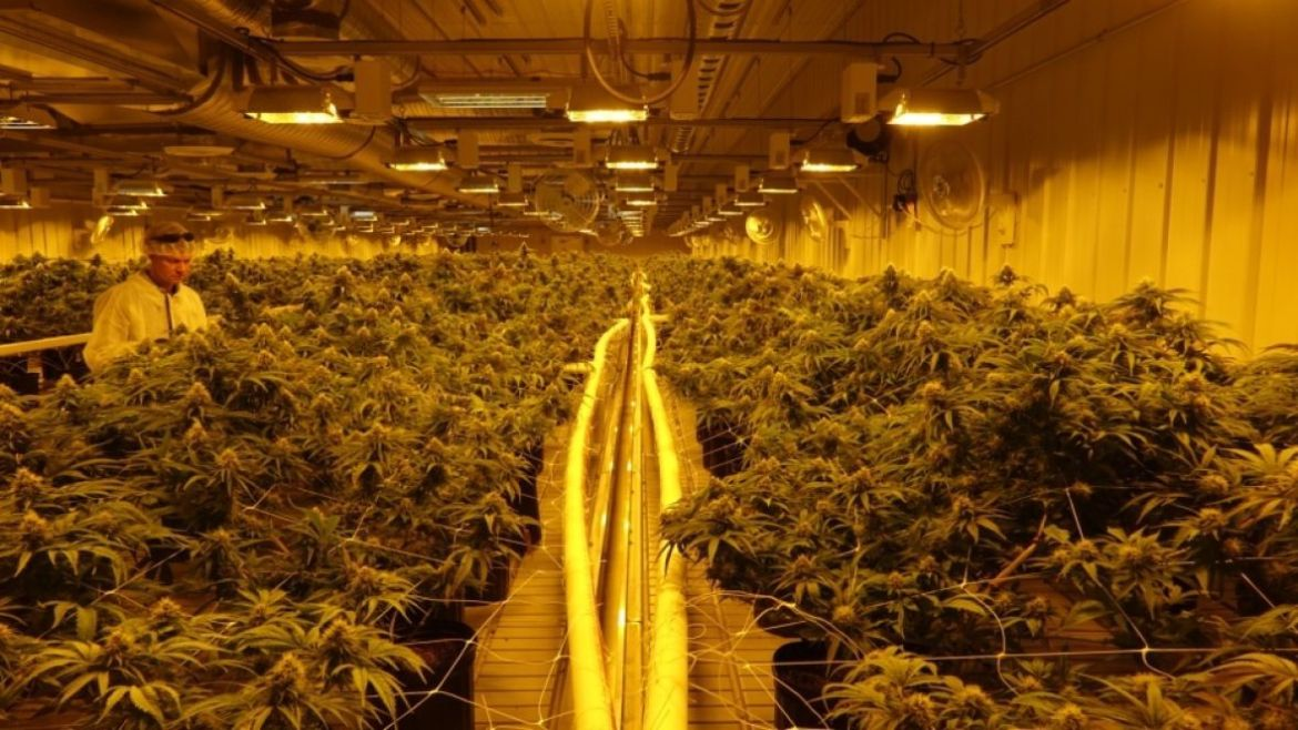 Legalization promise 'good news' for massive Alberta marijuana operation