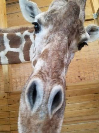 Image result for april the giraffe