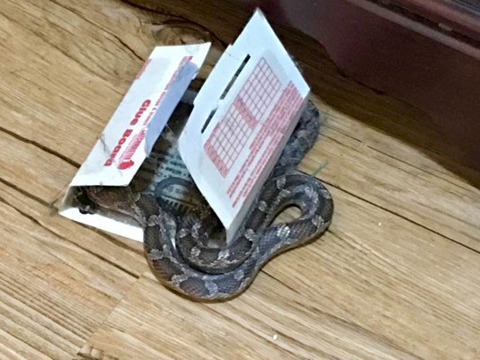 NO THANKS | Live snake found stuck to sticky trap inside home